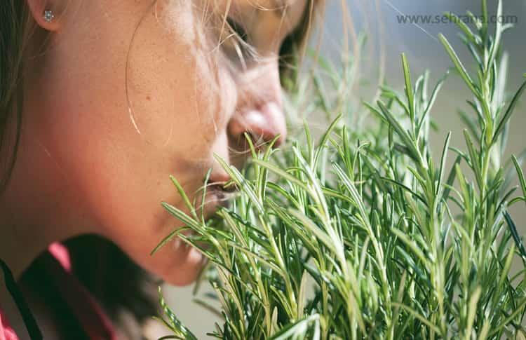 بررسی خواص اکلیل کوهی بر سلامت ریه