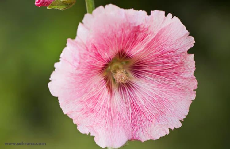 در هنگام مصرف عرق گل ختمی این نکات را رعایت کنید